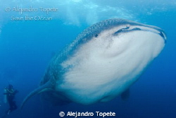Amazing  Whale Shark with diver